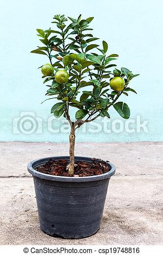 Young lemon tree in pot - csp19748816