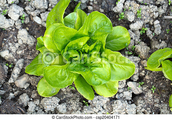 young lettuce in the garden - csp20404171