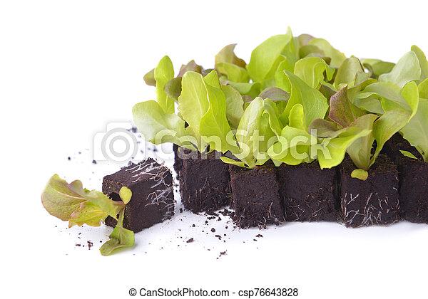 young lettuce seedlings in lump of soil - csp76643828