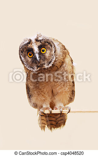 Young long-eared owl - csp4048520