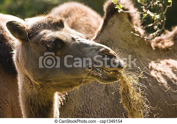 young male camel eating his meal and looking