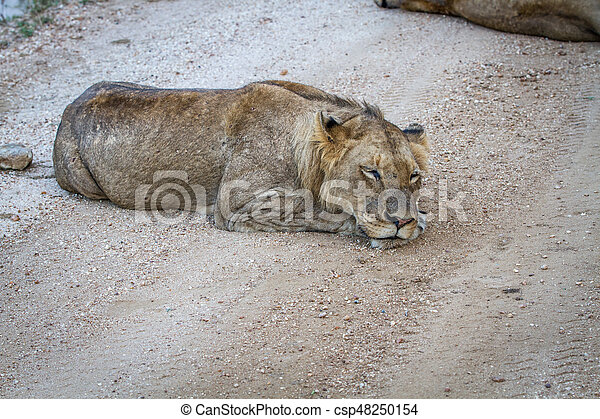Young male Lion sleeping on a dirt road. - csp48250154