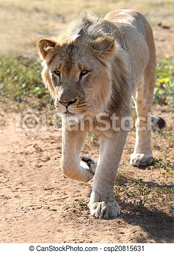 Young Male Lion - csp20815631