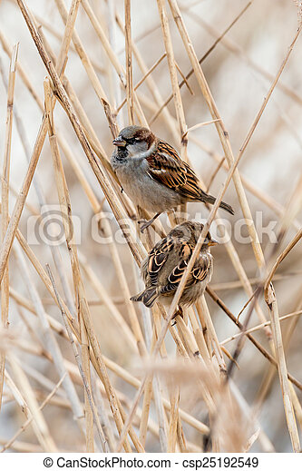 Young male sparrow - csp25192549