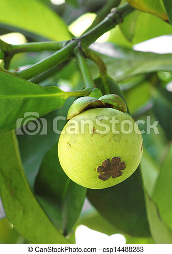 Young mangosteen on tree - csp14488283