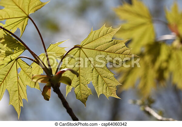 Young Maple leaves in the rays of sunlight - csp64060342