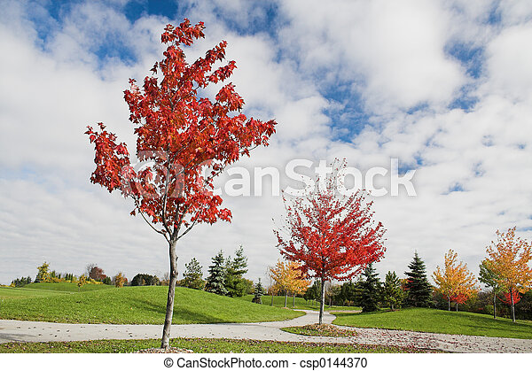 Young Maple Trees In Autumn Young Maple Trees Turn Red And Yellow