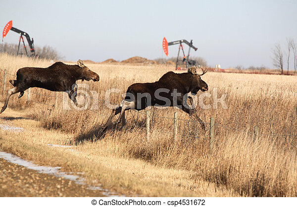 Young moose leaping over barbed wire fence - csp4531672