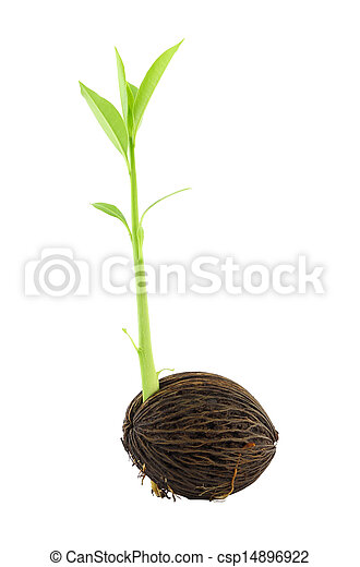 Young othalanga sprout seed and leaf left side on white background. - csp14896922