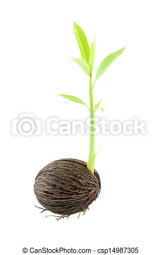 Young othalanga sprout seed and leaf right side on white background. - csp14987305