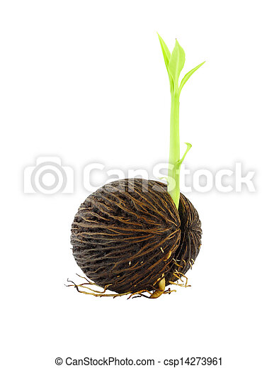 Young othalanga sprout seed on white background. - csp14273961