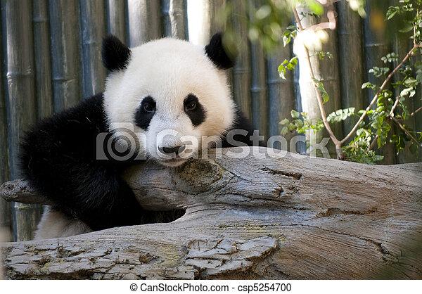 Young Panda - csp5254700