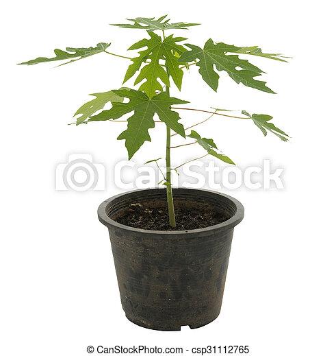 Young Papaya Tree In The Black Vase Isolated On White Background