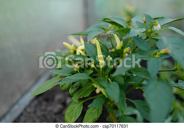 Young pepper bush - csp70117631