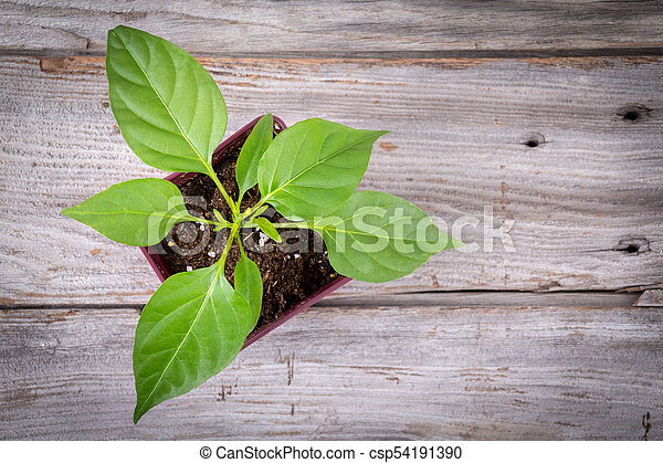 young pepper plant growing in pot - csp54191390
