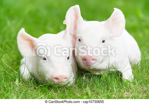 young piglet on green grass - csp10730655