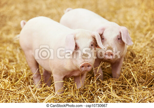 young piglet on hay at pig farm - csp10730667