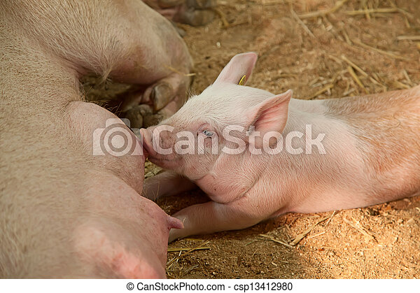 Young pigs - csp13412980