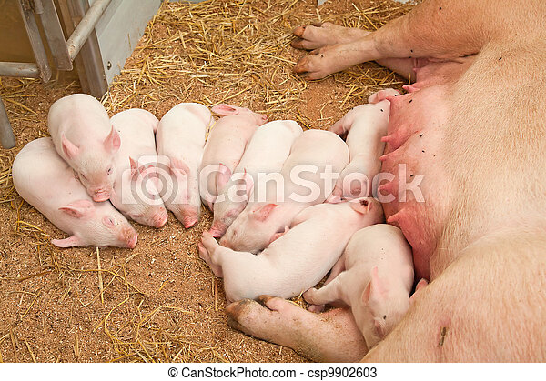 Young pigs - csp9902603