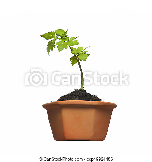 Young plant in pot isolated on the white backgrounds - csp49924486