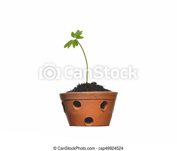 Young plant in pot isolated on the white backgrounds - csp49924524