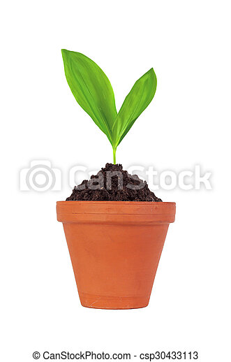 Young plant in pot isolated on white background - csp30433113