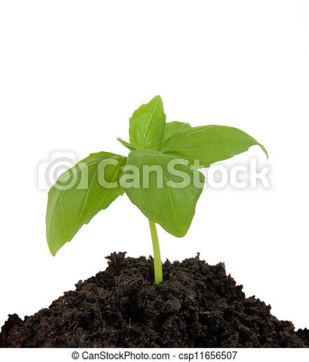 Young plant in the ground, isolated on white background - csp11656507