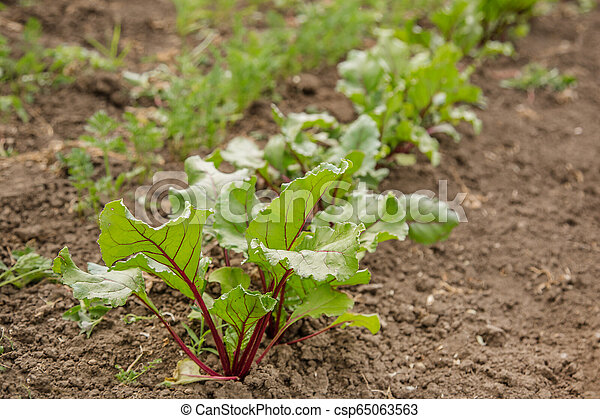 Young plants of beet in the garden. - csp65063563