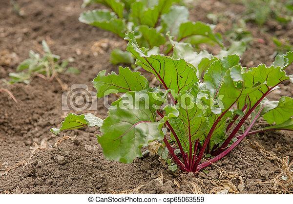 Young plants of beet in the garden. - csp65063559