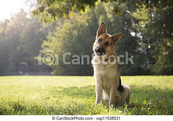 young purebred Alsatian dog in park - csp11538531