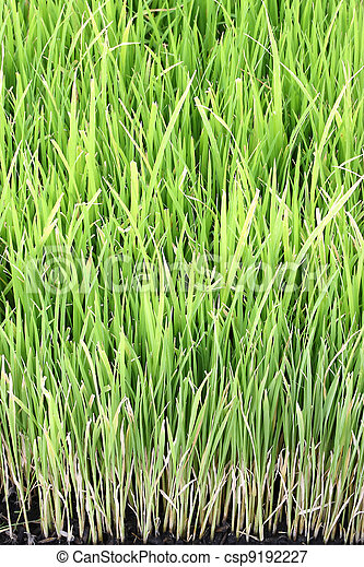 Young rice plant in natural field. - csp9192227