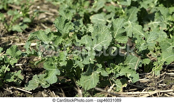 Young Rutabaga Plant On Farm Closeup Close Up Shot Of A Young Plant