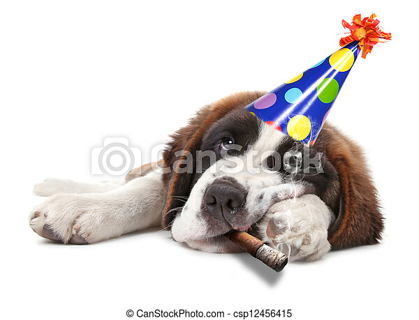 Young Saint Bernard Puppy on White Background - csp12456415