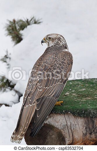 Young saker falcon is sitting on a stump. Falco cherrug. Close up. - csp63532704