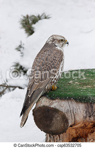 Young saker falcon is sitting on a stump. Falco cherrug. - csp63532705