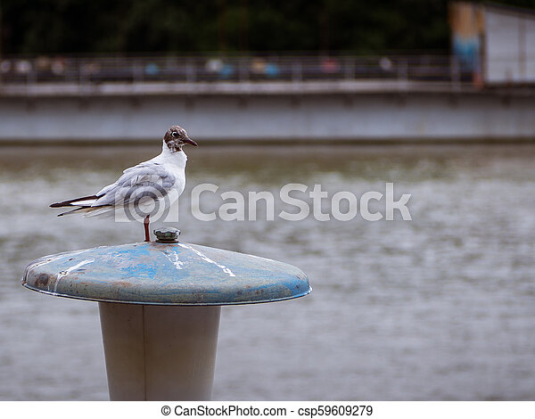Young seagull standing on a street lamp near the river - csp59609279