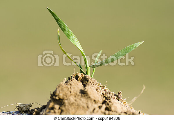 Young seedling of wheat planted in fertile soil - csp6194306