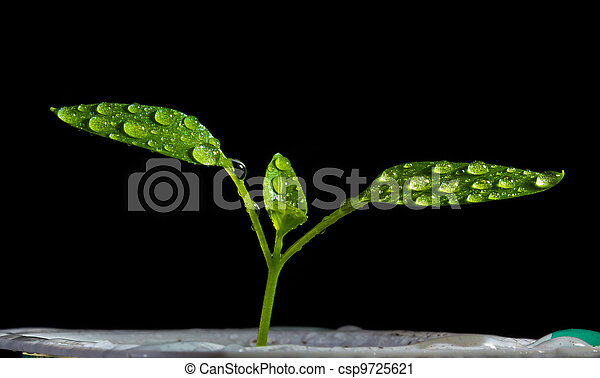 Young shoots of tomatoes during the irrigation - csp9725621