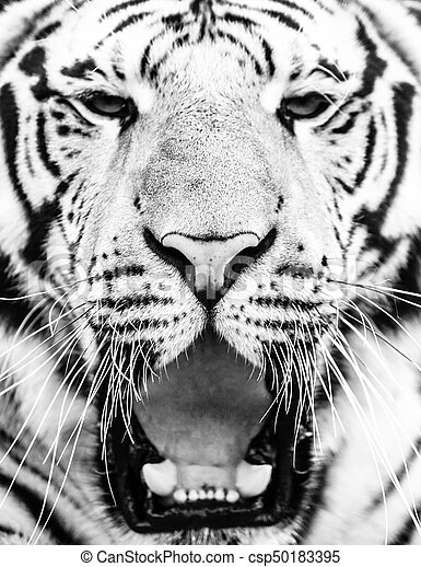6051a72d6 Young siberian tiger portrait with open mouth and sharp teeth. black and  white image.