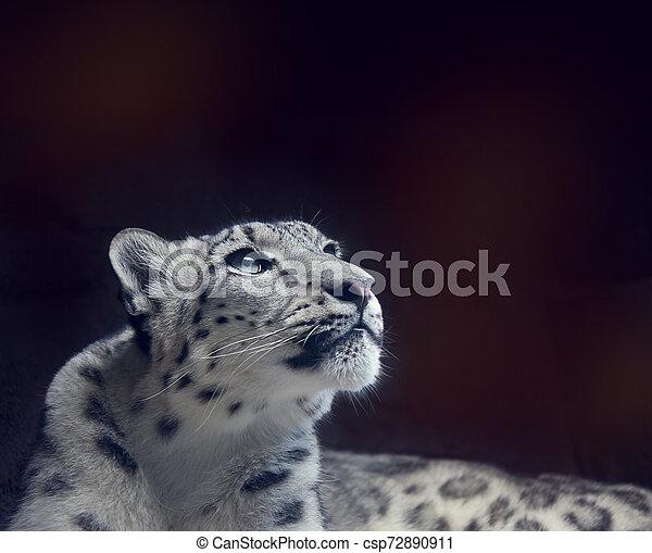 Young Snow leopard portrait on dark background - csp72890911