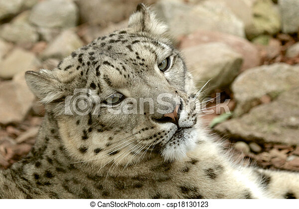 Young Snow Leopard - csp18130123