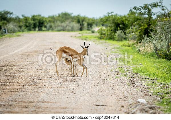 Young Springbok calf suckling on a gravel road. - csp48247814