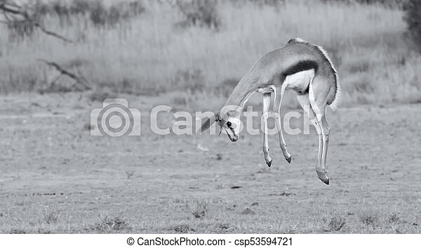 Young springbok doe prancing on a plain in the Kgalagadi artistic conversion - csp53594721