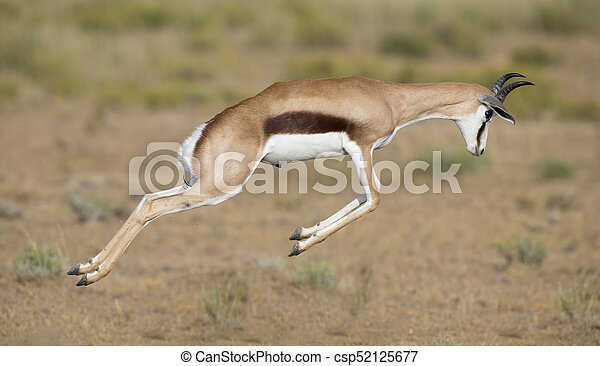 Young springbok male prancing on a plain in the Kgalagadi - csp52125677
