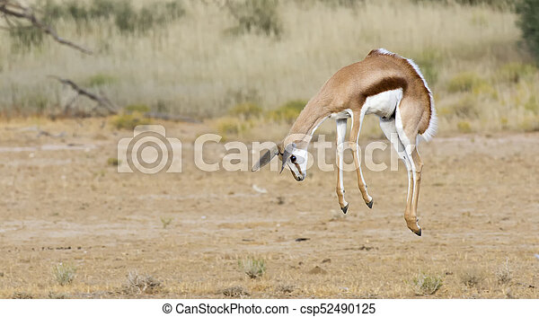 Young springbok male prancing on a plain in the Kgalagadi - csp52490125