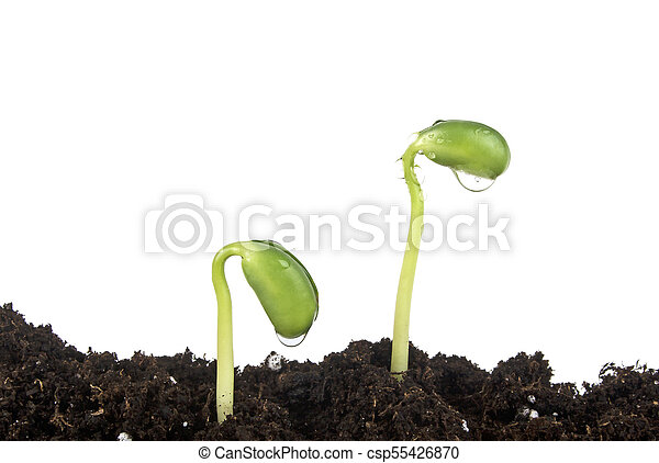 Young sprout of soy in soil humus on a white background - csp55426870