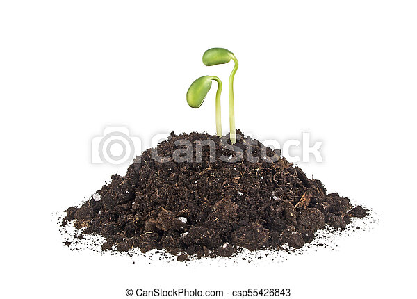 Young sprout of soy in soil humus on a white background - csp55426843