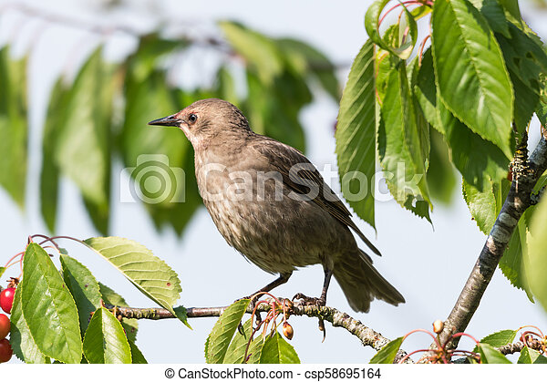 Young Starling closeup - csp58695164