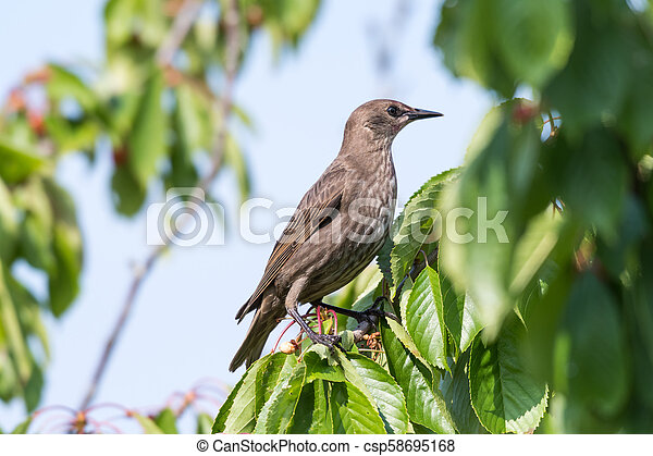 Young starling in a cherry tree - csp58695168