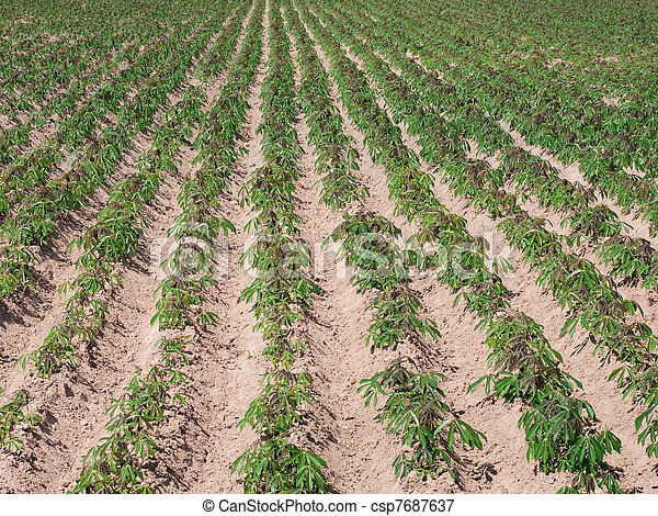 Young tapioca plants on a field in Thailand - csp7687637